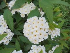 240 (en-ri) Tags: grappolo fiorellini foglie leaves sony sonysti