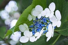 P6242176 (eriko_jpn) Tags: whiteflower hydrangea blueflower