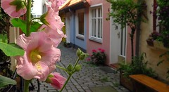 Postcard from Luebeck (langkawi) Tags: pink flower germany deutschland alley rosa cobble luebeck lbeck hollyhock idyllic pflaster idylle stockrose hfe gnge