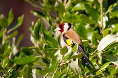 Chardonneret lgant (Carduelis carduelis) (Oric1) Tags: chardonneret lgant carduelis canoneos7d france franceoric1 oric1 tamron150600 animal bird breizh cte ctesdarmor oiseau chardonneretlgantcardueliscarduelis