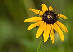 busy bee on flower (slider5) Tags: flower bee ms pollen blackeyedsusan noxubee