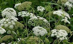 Water Hemlock (Cicuta maculata) (Mary Keim) Tags: taxonomy:binomial=cicutamaculata centralflorida marykeim orlandowetlandspark floridanativewildflowers