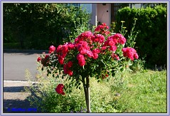 20160627-00003a (r_walther) Tags: schweiz blumen che rosen garten blhen kantonsolothurn winznau