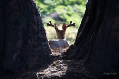 Contemplating Nature (morrobayrich) Tags: muledeer odocoileushemionus sequoianp silhouette ca droh dailyrayofhope