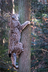 Climbing up a tree (Cloudtail the Snow Leopard) Tags: animal cat mammal feline katze lynx tier pforzheim wildpark luchs sugetier pinselohr