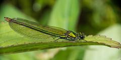 Female Banded Demoiselle  [Explore] (Eskling) Tags: demoiselle calopteryxsplendens banded dragonfly river lagan belfast northern ireland nikon d3200 raynox 150 dcr150 irishwildlife