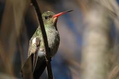 Hummingbird (Arzivenkos) Tags: nature nikon hummingbird d70 natureza passarinho ave 25faves