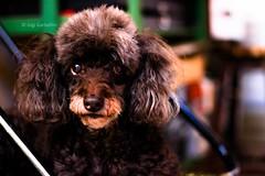 Neguinha-3 (gigi_garbellini) Tags: dog cutie