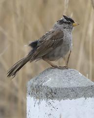 White Crowned Sparrow (David Wheatley) Tags: california bird sparrow pointlobos whitecrownedsparrow zonotrichialeucophrys