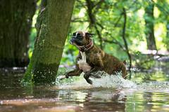 fun fun fun (Tams Szarka) Tags: dog pet animal puppy playing boxerdog outdoor nature forest fun running water nikon