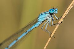 Libelle (michimulder83) Tags: macro canon eos 100mm tokina 100 insekt insekten kenko 14x 70d telekonverter