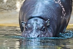 The real deal (marionrosengarten) Tags: zoo berlin hippo pigmy water swimming diving animal nature fauna nikon nilpferd flusspferd heat bath