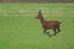 Roe deer buck (blootoonloon1( No to Badger Cull)) Tags: roe deer buck animal wildlife nature scotland highlands movement motion