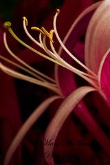 Inner Self (Mary McIlvenna Photography) Tags: flora honeysuckle macro colour red floralart shortlisteddigitalcamerapoty2011 publishedwildlifenaturephotography2012 nature close up