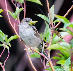 The Provider. (Omygodtom) Tags: outdoors wildlife animalplanet bird bokeh songsparrow nature natural nikkor flickr naturallight nikon d7100 nikon70300mmvrlens