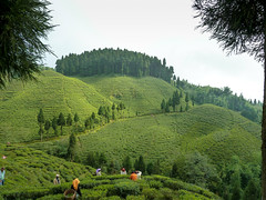 Tea Estate (S_Artur_M) Tags: india indien travel reise darjeeling westbengalen westbengal lumix tz10 panasonic