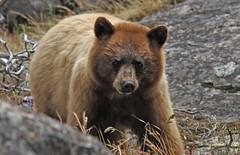American Black Bear (Ursus americanus) (Ron Wolf) Tags: california nature mammal nationalpark wildlife sierra explore yosemitenationalpark ursusamericanus ursidae carnivora americanblackbear hetchhetchyvalley