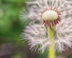 Finding Beauty In Simplicity (SimplyAmy74) Tags: macro nature beautiful beauty spring weeds nikon details dandelion seeds warmday