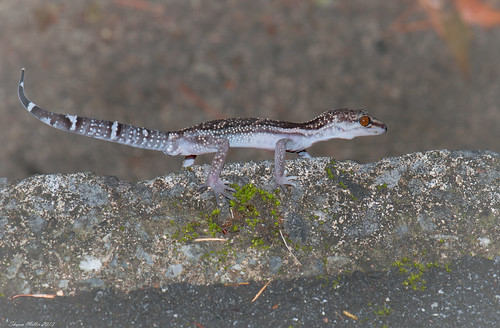 Walking the line - Ryukyu ground Gecko