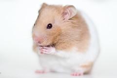 Loholts Prakkari (astakatrin) Tags: pet white black cute beautiful animal little background honey hamster shorthaired syrian banded