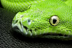 Emerald Tree Boa (Everywhere and Nowhere) Tags: detail macro green closeup reptile snake boa scales python snakeeyes boaconstrictor emeraldtreeboa flickrandroidapp:filter=none