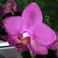 Orchid in Spotlight (Been Around) Tags: flowers orchid flower macro austria sterreich spring europa europe purple may eu samsung blumen phalaenopsis mai galaxy orchidee blume makro obersterreich autriche s4 austrian frhling aut o upperaustria steyrling 2013 a onlyyourbestshots hauteautriche concordians thisphotorocks bezirkkirchdorf expressyourselfaward smartphonecamera bezirkkirchdorfanderkrems samsunggalaxys4 galaxys4 i9505 i9505galaxys4