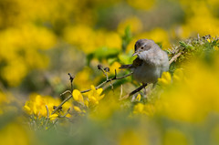 Whitethroat (Alistair Prentice.) Tags: summer photography canal pentax wildlife prentice alistair migrant portadown newry whitethroat