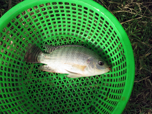 A tilapia caught from homestead pond, Cambodia. Photo by Jharendu Pant, 2009.