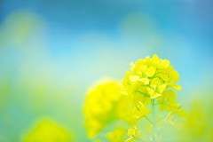 Veil (*Sakura*) Tags: blue flower macro nature yellow japan tokyo  mustard sakura  earlyspring  rapeblossoms
