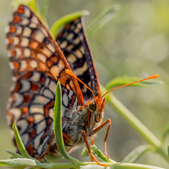 Edith's Checkerspot Butterfly (Tn) Tags: california macro nature butterfly insect unitedstates pinnacles euphydryaseditha pinnaclesnationalpark edithscheckerspotbutterfly tonyvanlecom