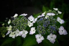 SDIM3632 (Keishi Etoh rough-and-ready photoglaph) Tags: flower 28mm sigma foveon  dp1 hydrangeamacrophylla  sigmadp1x dp1x