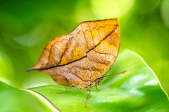 Butterfly? (Patrick Foto ;)) Tags: wallpaper orange color macro green nature beautiful beauty forest butterfly insect colorful natural bokeh background wildlife wing bugs oakleaf biological nymphalidae nymphalinae kallima inachus