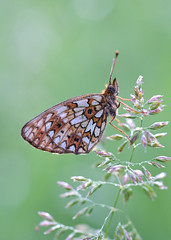 The Small Pearl-bordered Fritillary (Boloria selene) (Gnilenkov Aleksey) Tags: macro closeup butterfly insect small fritillary selene the pearlbordered boloria thesmallpearlborderedfritillaryboloriaselene