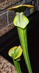 Yellow Pitcher Plant (MarkGregory007) Tags: plant pitcher carnivorousplant