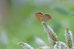 small copper and apple mint (snowshoe hare*(back and slowly catching up)) Tags: flowers butterfly herb smallcopper   applemint  dsc8636 botnaicalgarden