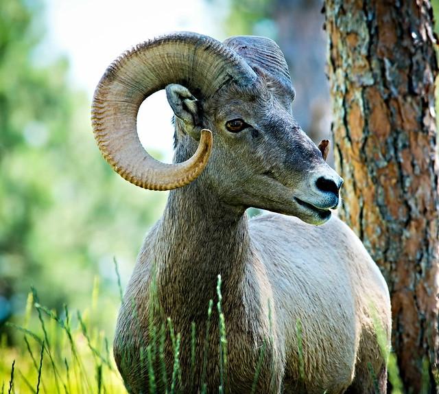 sheep ram bighornsheep