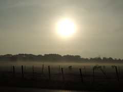 Texas Misty Morning on the Ranch (maorlando - God keeps me as I lean on Him!!) Tags: ranch morning usa sun mist birds sunrise fence texas cattle pasture barbedwire pastoral grazing cattleegret mistymorning wallercounty cedarpost doublefenced
