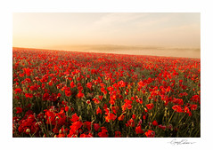 Summer Dawn (George-Edwards) Tags: morning flowers light red wild summer england sun mist nature fog sunrise landscape outdoors dawn countryside nikon compton scenic wideangle farmland poppies daybreak poppyfield downland westberkshire leefilters