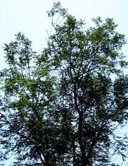 Bushy tree ! (حــسامـم !) Tags: sky tree green leaf long branch vegetable mass bushy درخت سبز پر سبزی پشت آسمان بلند شاخه برگ