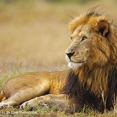 In the 1900's there were at least 500,000 #lions in Africa! 1960: 200.000 lions 1980: 76.000 lions 2012: 15.000 lions 2013: ?????????? (Uwe_Skrzypczak) Tags: africa cats nature animals wildlife safari lions serengeti masaimara serengetiwildlife uweskrzypczak savesimba