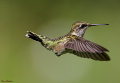 Ruby Throated Hummingbird (Diane Marshman) Tags: summer brown white black male green bird nature birds flying wings long hummingbird body pennsylvania wildlife small ngc birding flight beak young pa spotted ruby immature throat juvenile hovering in throated photocontesttnc13