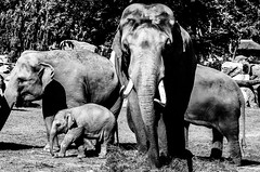 Largest, smallest and the others (David Doua) Tags: bw baby white elephant black male zoo mono cub big nikon prague small young troja herd mekong sita largest d7000