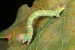 Cyclophora punctaria (Geometridae), larva on oak (Franziska Bauer) Tags: insect moth lepidoptera caterpillar geometridae falter metamorphosis larva schmetterling raupe metamorphose oruga nachtfalter cyclophora geometroidea taxonomy:binomial=cyclophorapunctaria cyclophorapunctaria