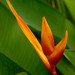 "Heliconia x Adian • <a style=""font-size:0.8em;"" href=""http://www.flickr.com/photos/101688182@N03/9833405246/"" target=""_blank"">View on Flickr</a>"