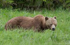 Brown Bear, female (markvcr) Tags: bear mammal bc britishcolumbia wildlife ngc grizzly ursus brownbear grizzlybear telegraphcove arctos horribilis tiderip anawesomeshot glendalecove blinkagain