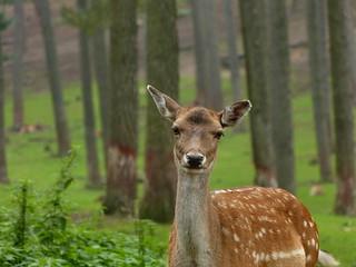 Naturwildpark Granat - Fallow Deer - Damhert