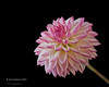 Valley Porcupine (annabelleny Thank you for your many views and comm) Tags: pink light white black flower floral garden flora background novelty blend dahia floralphotograph
