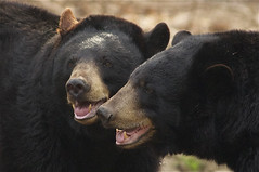 da Bears (ucumari photography) Tags: bear black zoo oso nc north american carolina april ursusamericanus 2013 specanimal ucumariphotography dsc1947
