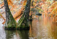 Cyprès chauves (MCPHOTOGRAPHIE /http://mcphotographie.com/) Tags: autumn orange automne couleurs cypress paysage oranger etang cypres isère rhônealpes automnale chauves