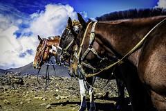 haleakala_horses_130930 (Aron Cooperman) Tags: horses horse usa nature landscape volcano hawaii nikon tour maui hi d800 lavarock haleakal haleakalanationalpark mauihawaii haleakalasummit 2013 mauiphoto haleakalvolcano nikon2470 nikond800 aroncooperman openlightphoto hawaiianphoto